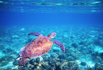 Sea tortoise in blue water above coral reef. Tropical sea nature of exotic island.