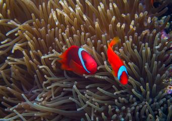 Clown fish in actinia. Orange Clownfish in anemone. Coral fish underwater photo.