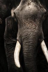 asia Elephant Head white ivory, tusk isolated on black background