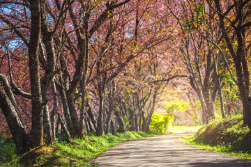 Pink Cherry Blossom Path through a beautiful road in soft light of sunset