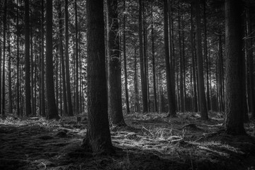 Douglas Fir Forest in Black & White