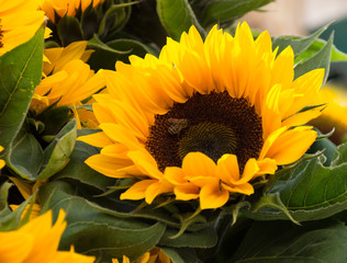 Close Up of a Sunflower with brown center and multiple bright yellow and gold petals. The flowers are surrounded by large leaves.
