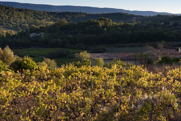 Grapevines in Autumn with fall foliage in Provence with wooded hills in the background.