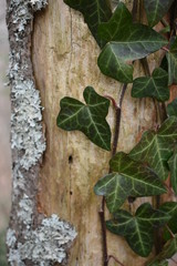 Ivy on Bark