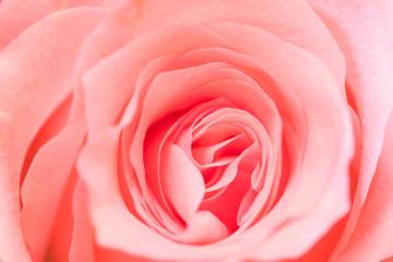 Close up Pink rose texture