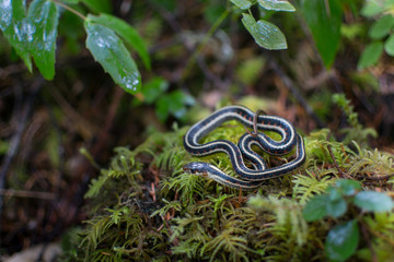 Snake on the forest floor in Oregon