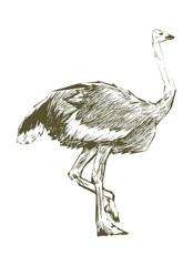 Illustration of ostrich