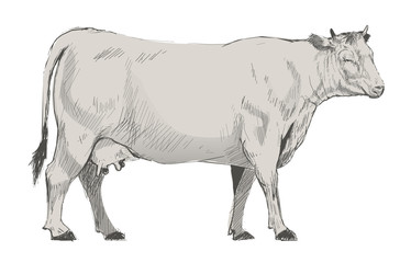 Illustration of cow isolated on background