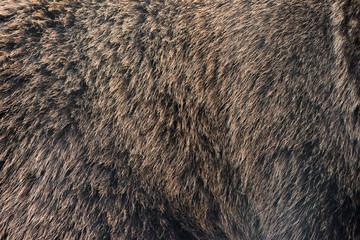 Wall Mural - Brown bear hair