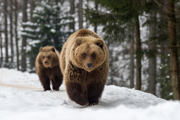 Family bear in the winter forest