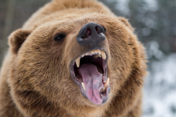 Wall Mural - Brown bear roaring in forest