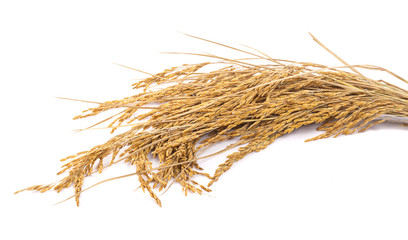 yellow paddy rice isolated