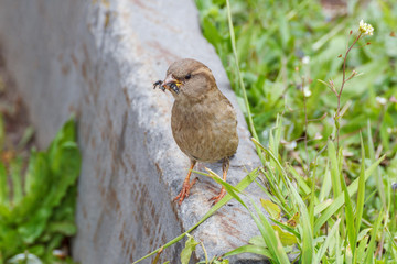 A sparrow with a fly in its beak
