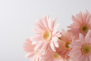ピンク色のガーベラ