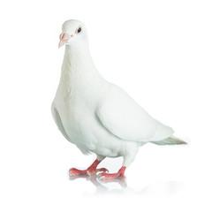 White dove isolated on white background