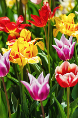 Fototapete - multicolored tulips in garden