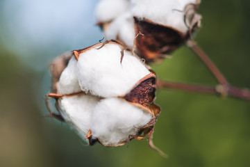 Blossoms of cotton plant