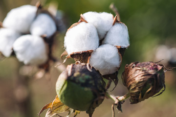 Blossoms of cotton plant