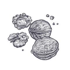 Walnut nuts vintage engraving.