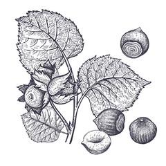 Hazelnuts nuts vintage engraving.