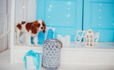 Charming Cavalier King Charles Spaniel puppy stands before blue door