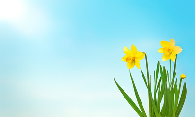 Nature spring background with Yellow flowers daffodils