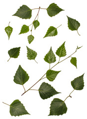 Birch leaves, birch, set of birch leaves, leaves on a white background