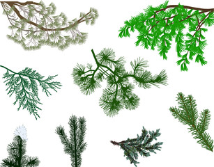 eight green coniferous branches collection