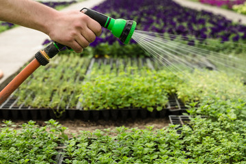 unrecognizable male worker holding hose and spraying water on flowers in commercial greenhouse