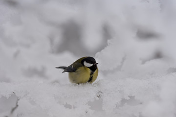 Closeup of a frozen and ruffled  great tit sitting in frosty tree