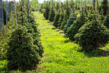 Rows of spruce trees in a tree nursery