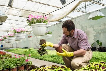Bearded man works in the greenhouse. Gardener is transplanting flowers