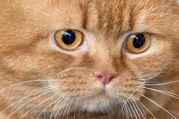 orange Cat eyes close up detail