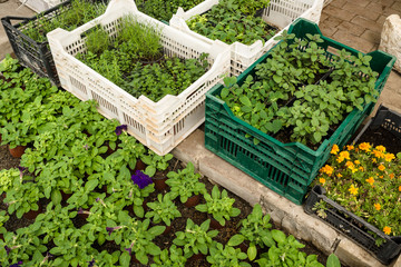 plants in plastic boxes sorting for sale