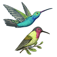Small hummingbird. Rufous and White-necked Jacobin bird. Exotic tropical animal icons. Golden tailed sapphire. Use for wedding, party. engraved hand drawn in old sketch.