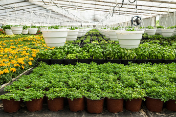 Plants in plastic pots are growing in greenhouse