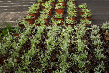 Herbs in plastic trays for sale