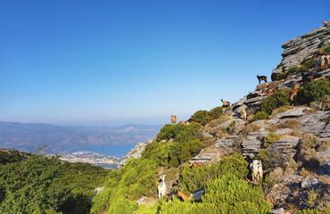 Chèvres sur les rochers de  Serra di Pigno en haute Corse