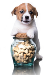 Jack Russell Terrier and food