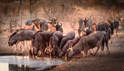 Gnu-Wanderung Serengeti