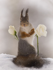 red squirrel between white roses in the snow