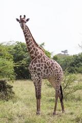 Giraffe full length shot in Africa, Senegal