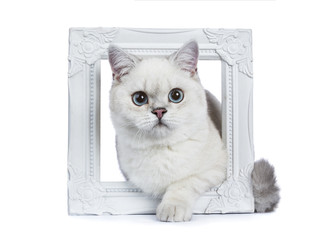 Silver tabby seal point British Shorthair laying through white photo frame with one paw over the edge isolated on white background.