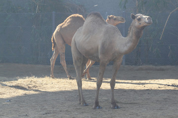 two camel in garden