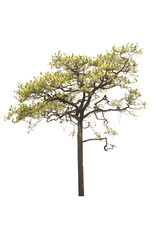 Kesiya pine tree isolated on white background.
