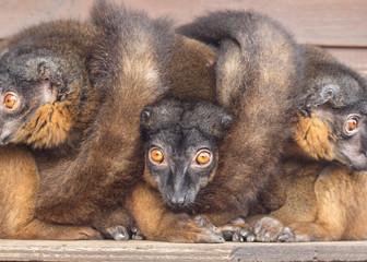 Collared Lemur animal