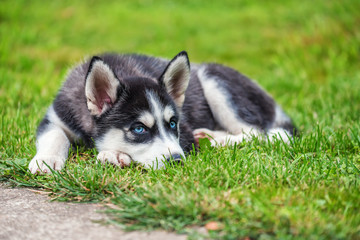 Husky puppy is on the grass