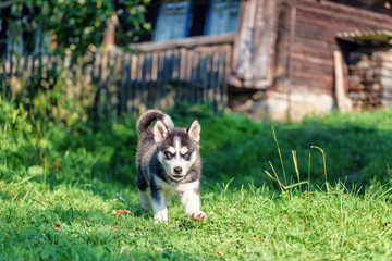 Husky puppy runs on the grass
