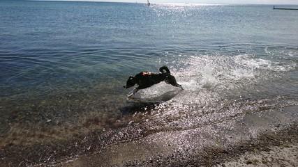 Hund in Aktion, Hund im Meer, Appenzeller Sennenhund