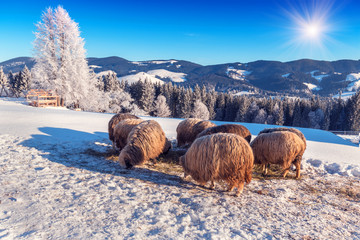 sheep eat hay on the snow